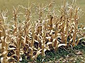 Bachmann HO Dried Corn Stalks -30pcs